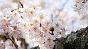 鶴舞公園の花見